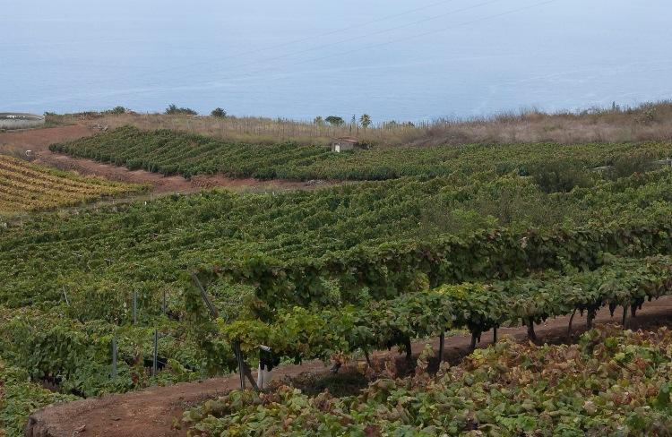 Tenerife grape vines