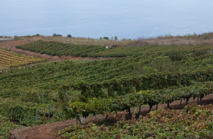 Tenerife grape vines