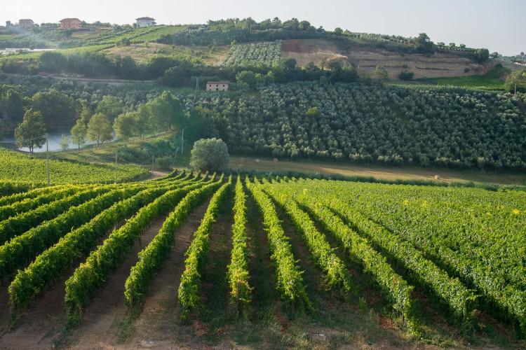 A vineyard view