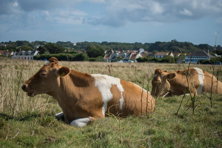 A Guernsey cow. On Guernsey.